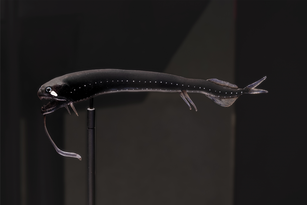 Final installed 3D model of scaleless black dragonfish on display