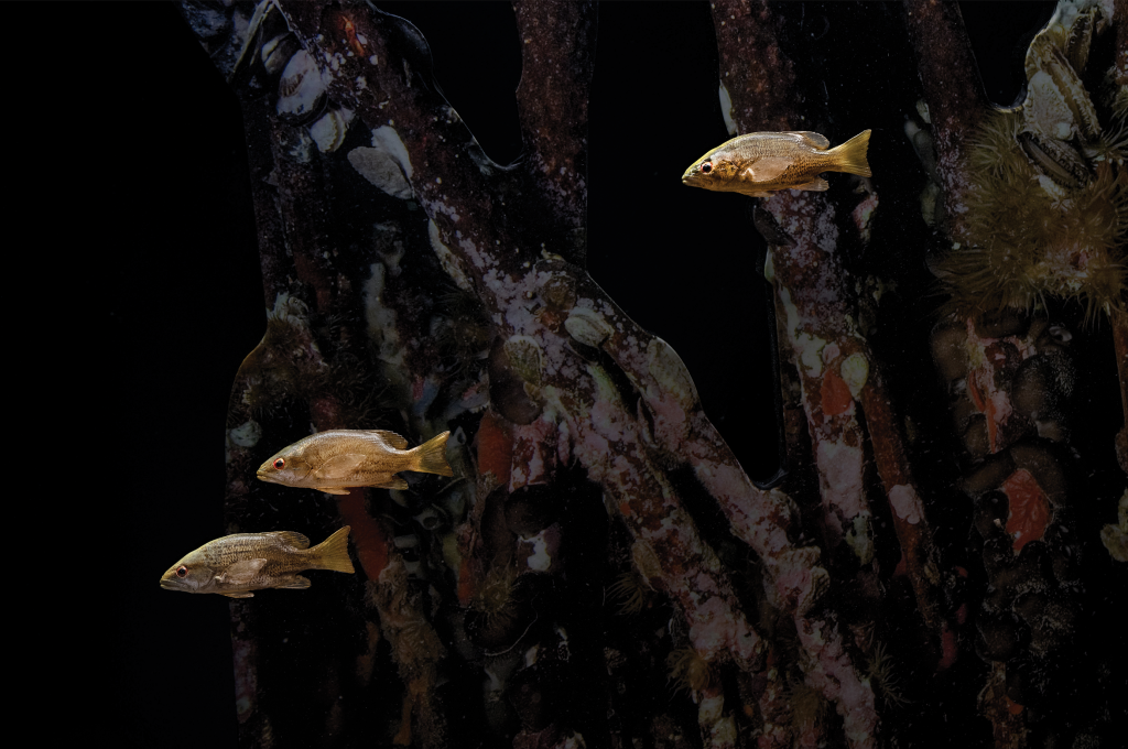 Final installed 3D model of juvenile gray snappers on display