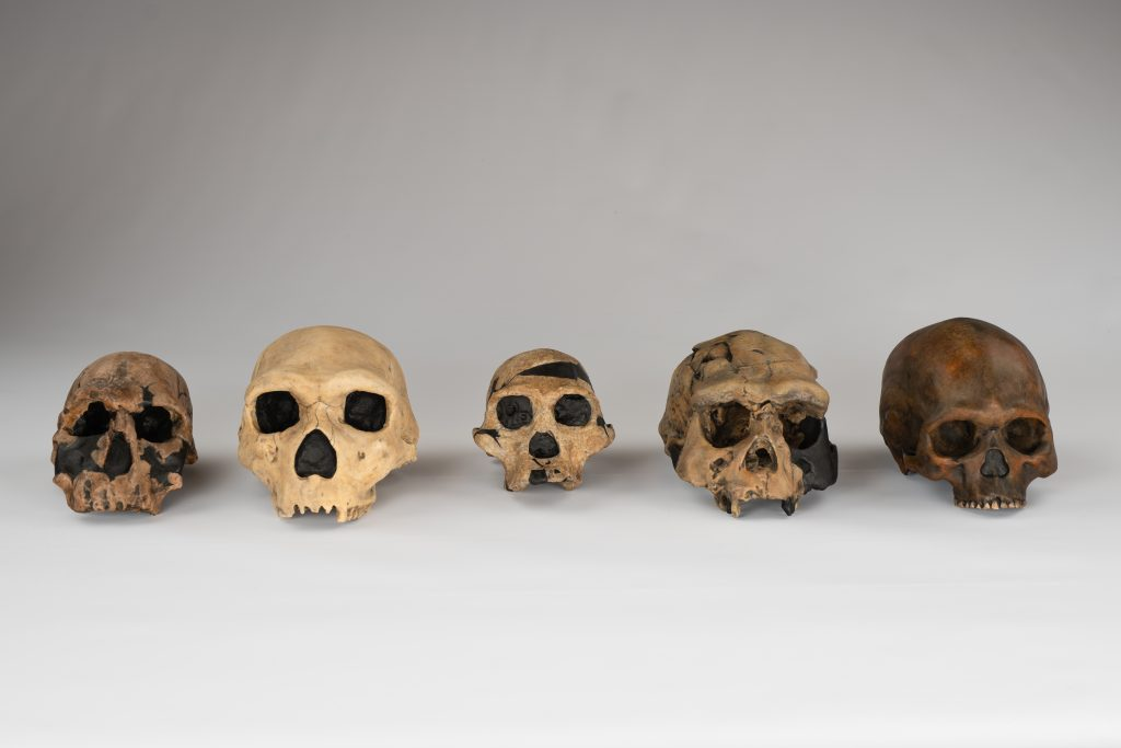 Human Origins Traveling Exhibit Skulls